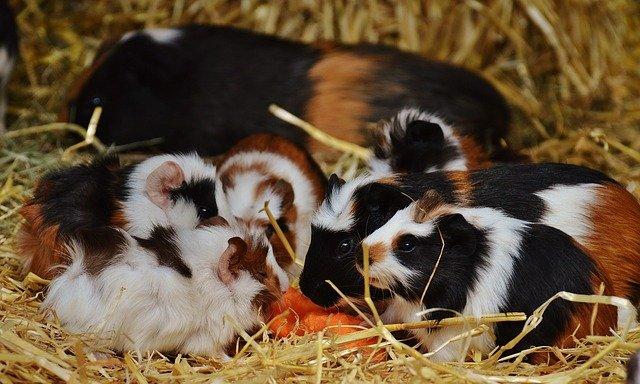 mláďata morčat