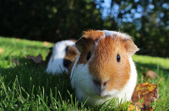 morčata v trávě