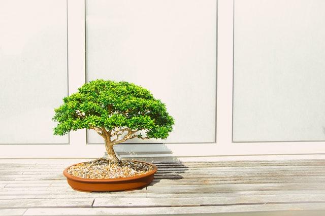 bonsaj na terase