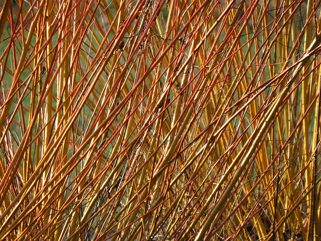 Detail vrbového proutí